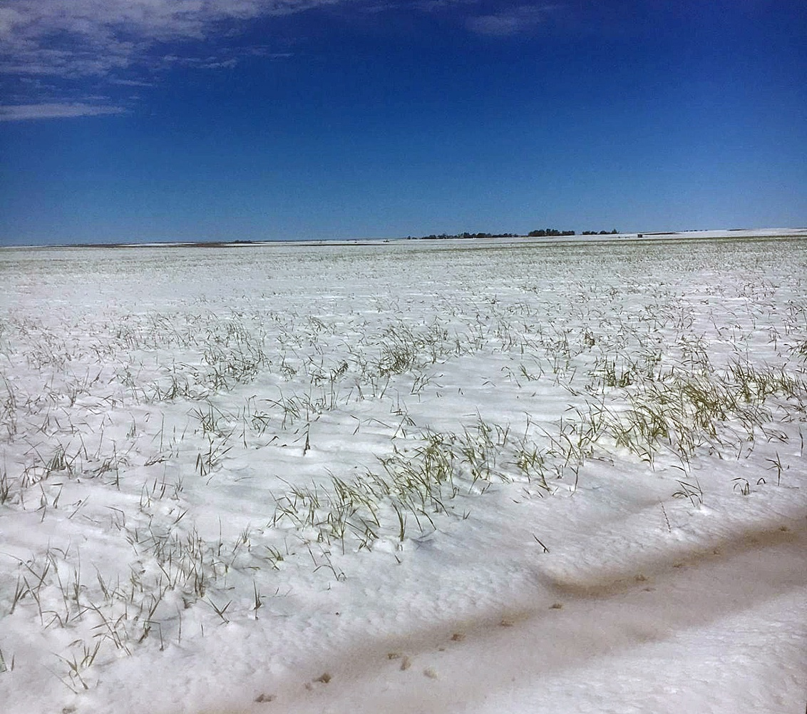 This shot, taken Monday, May 1, illustrates the sheer magnitude of snowfall over the weekend. The weight of the snow - due to high moisture content - is definitely a concern for Stevens County wheat producers. The true extent of the damage will remain uncertain until harvest.